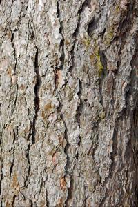 1. Fir tree WEB RGB